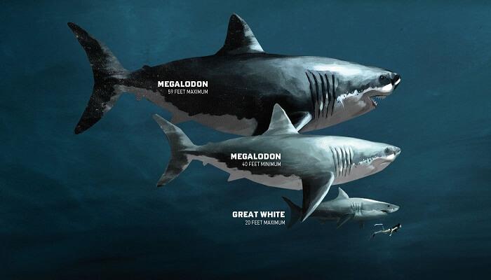 Tamaños del Megalodón y comparación