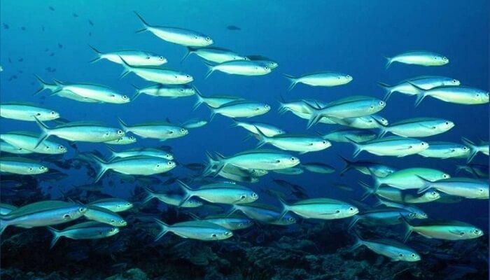 3 peces del mar fr o y sus caracter sticas mas resaltantes for Tipos de jaulas para peces