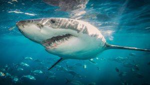 cómo respiran los tiburones