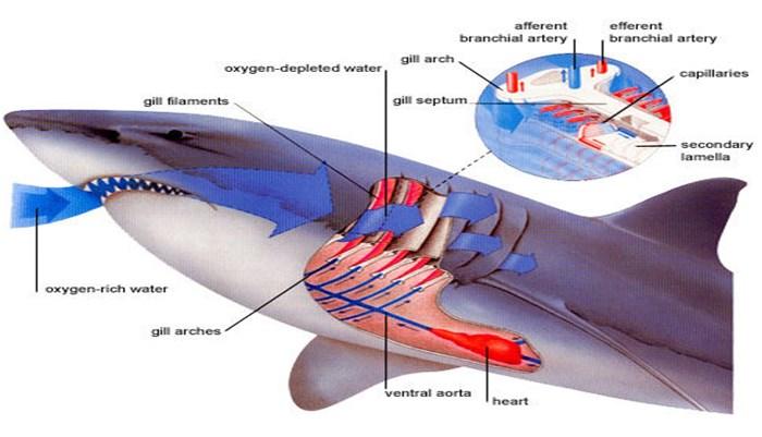 Método de nado de los tiburones con relación a la respiración