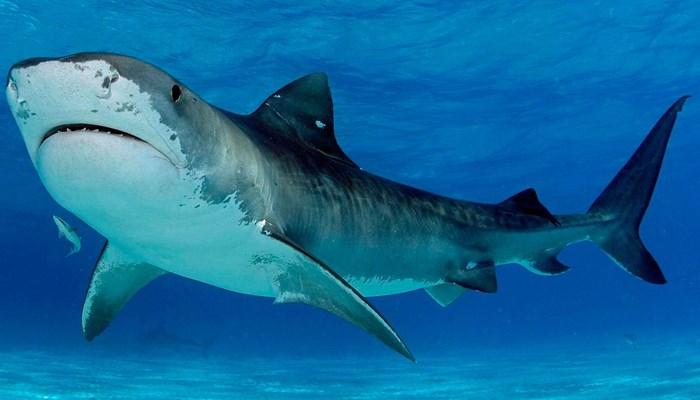 La sangre en los tiburones