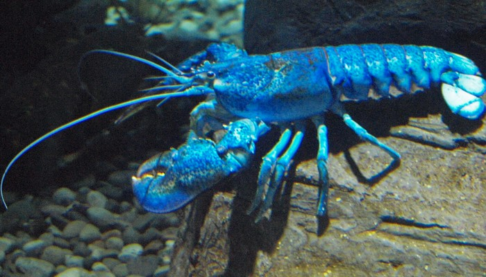los cangrejos, la jaiba