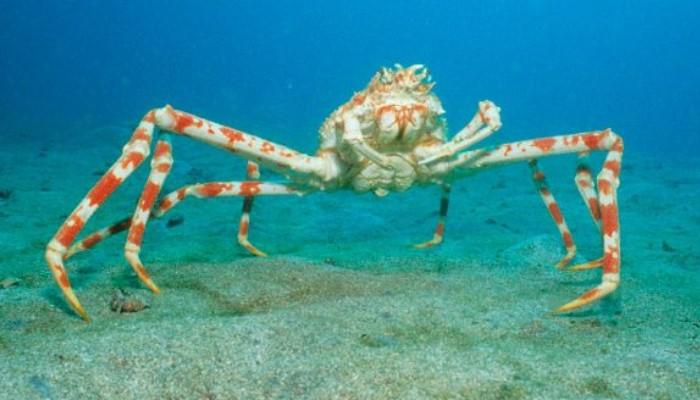 los cangrejos, cangrejo japones gigante