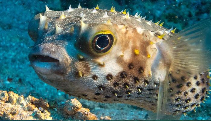 pez globo - caracteristicas