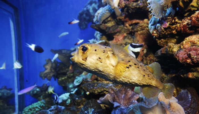 pez globo habitat