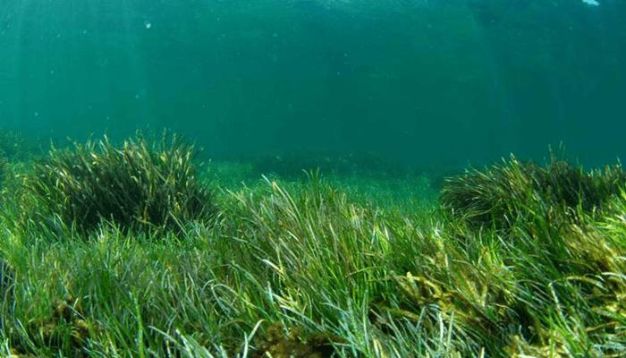 Fanerógama marina