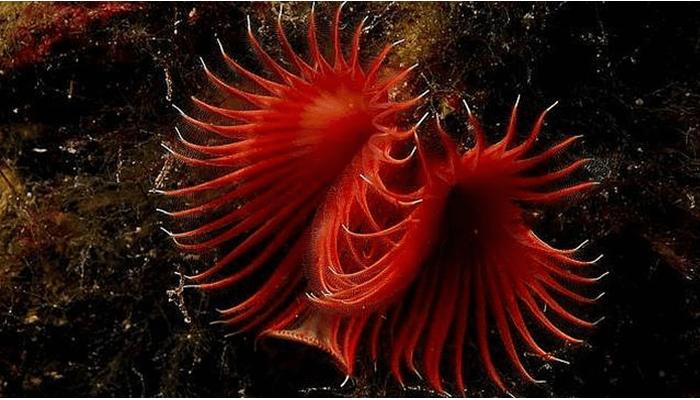 Riftia pachyptila