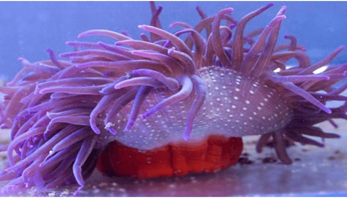 Anémona de tentáculos largos