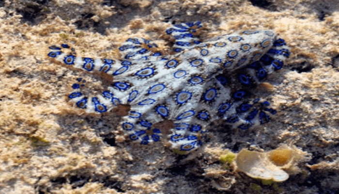 Pulpo de anillos azules