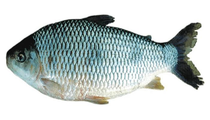 tonalidad plateada opaca del pez