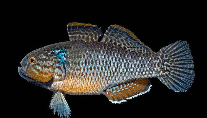 Nutrición del Pez Dormilón
