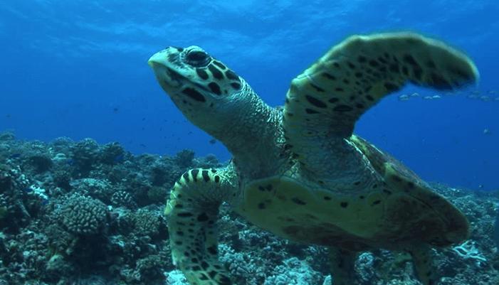 Las tortugas Laúd