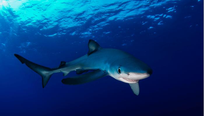 Tiburón-Azul-1