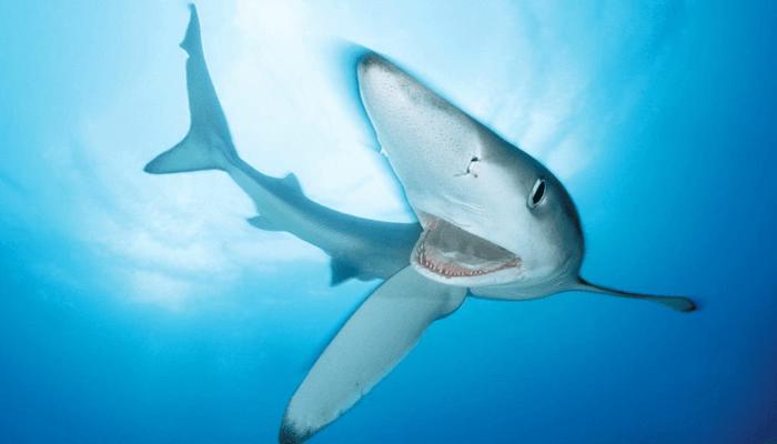 Nutrición del Tiburón Azul