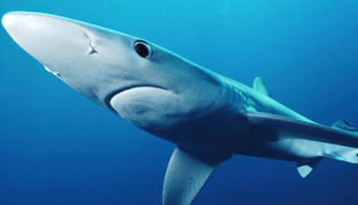 Reproducción del Tiburón Azul