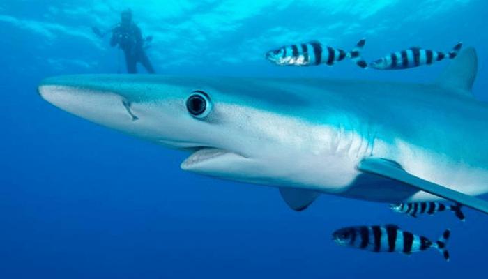 Hábitat del Tiburón Azul
