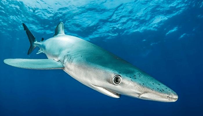 gran tiburón
