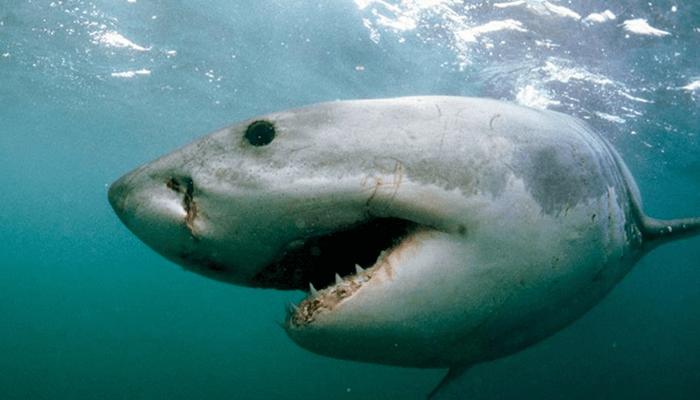 Nutrición del Tiburón Blanco