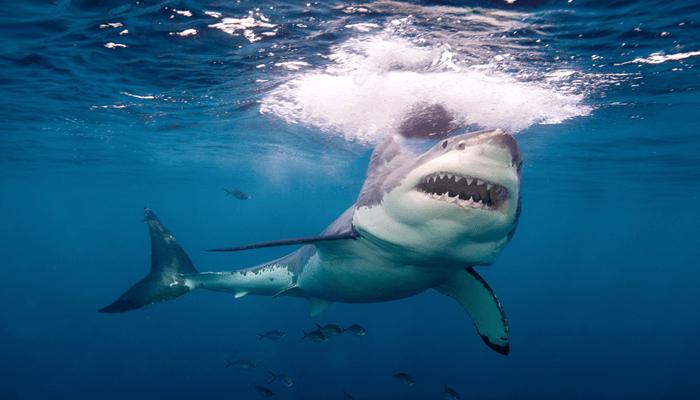 Las ampollas de lorenzini de los tiburones blancos