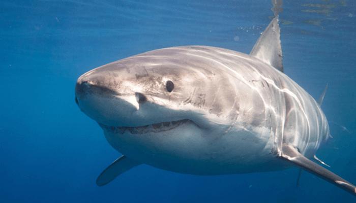 Depredadores del Tiburón Blanco