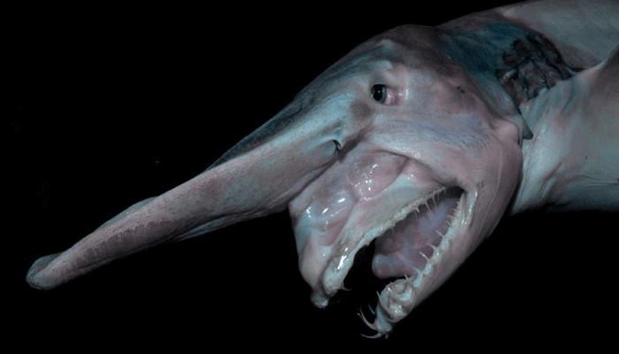 Tiburón-Duende-1