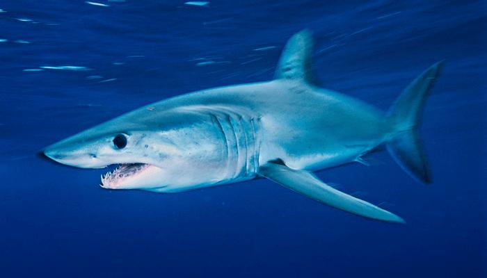 Nutrición del Tiburón Mako