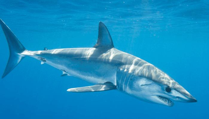 Velocidad del Tiburón Mako