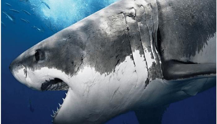 Tiburón con ojos esféricos y negros