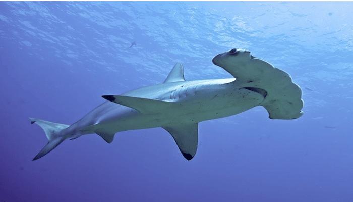 Los tiburones martillos poseen siete sentidos