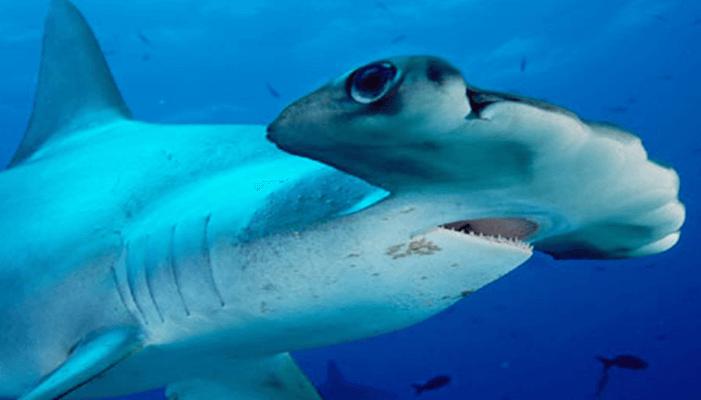 Aletas del tiburón martillo