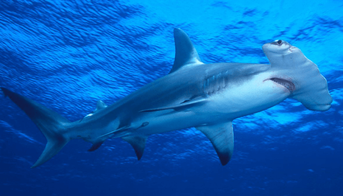 Nutrición Tiburón Martillo