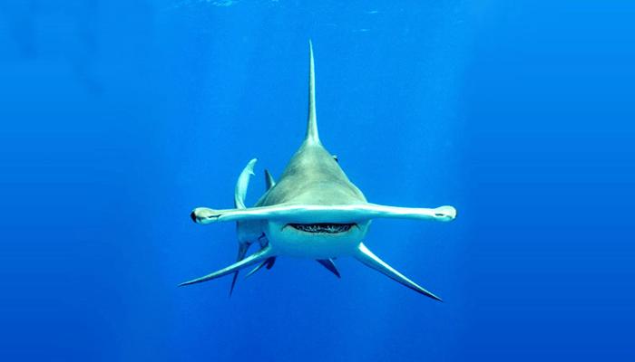 géneros tratados de Tiburón Martillo
