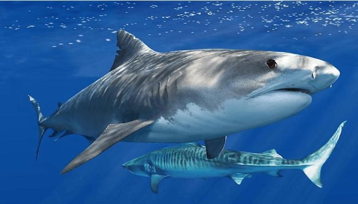 Tiburón-Tigre-1
