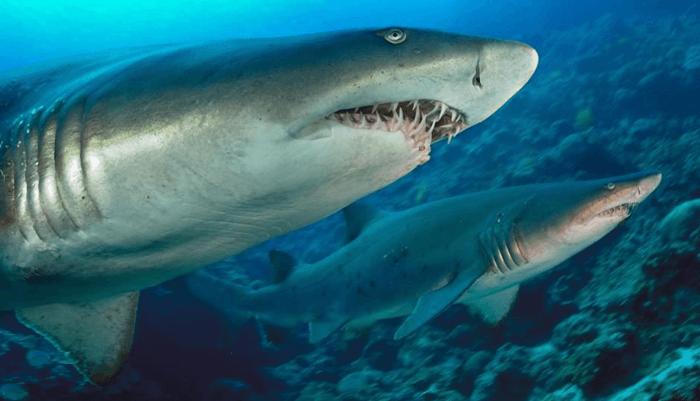 Alimentación del Tiburón Tigre