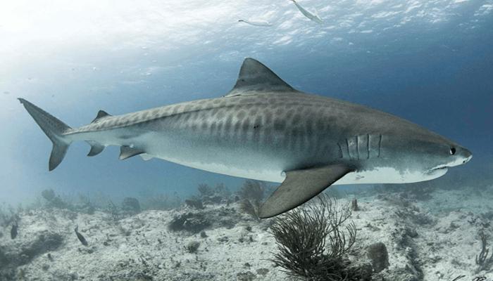 Reproducción del Tiburón Tigre