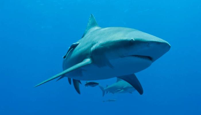 Alimentación del Tiburón Toro