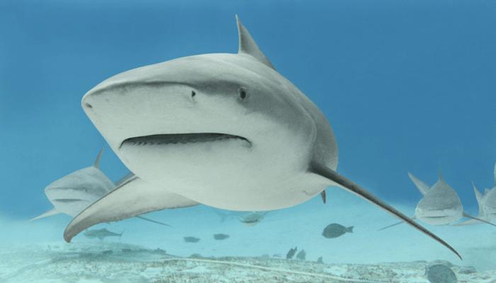 Ambiente y distribución del Tiburón Toro
