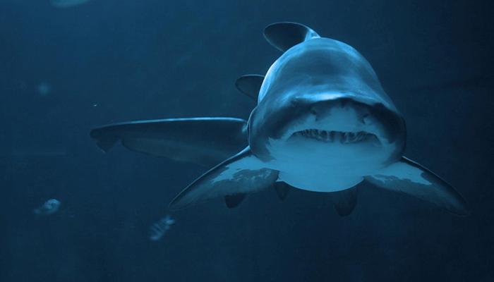 Conducta y ferocidad del Tiburón Toro
