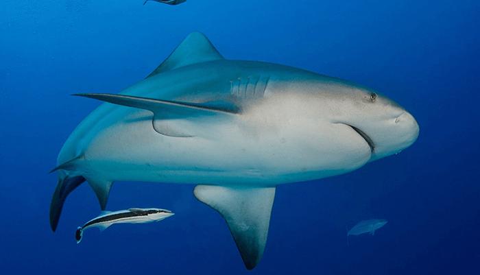 Reproducción del Tiburón Toro