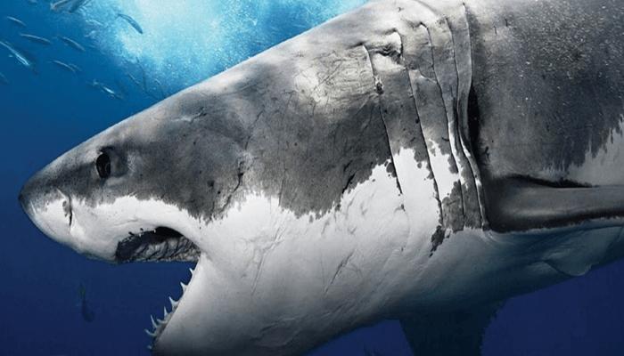 Curiosidades del Tiburón Toro