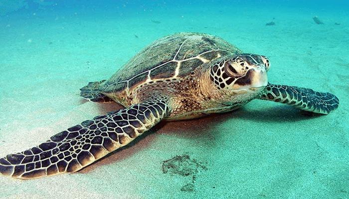 Tortuga-Verde-1