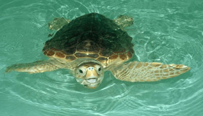 Ecología y conducta de la Tortuga Boba
