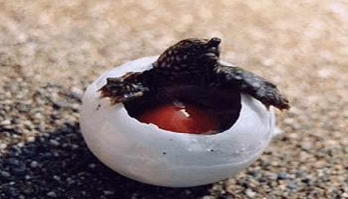 Reproducción de la Tortuga Boba
