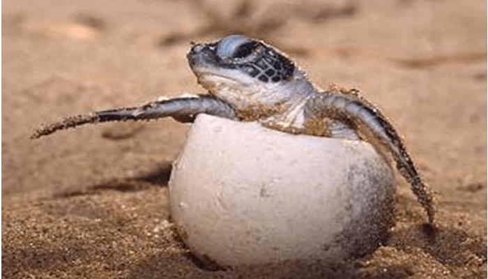 Representación de la Tortuga Carey