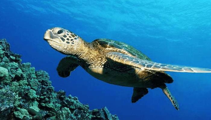 Distribución y entorno de la Tortuga Golfina