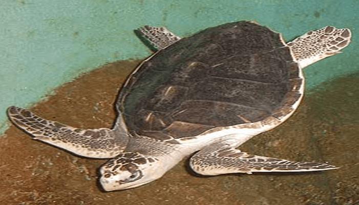 Representación de la Tortuga Golfina