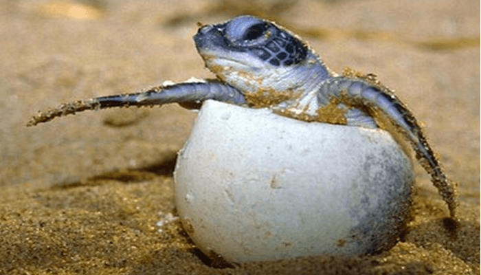 Reproducción de la Tortuga