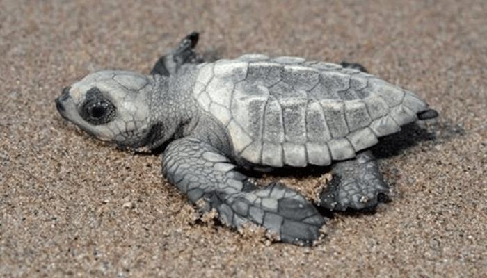 Comportamiento de la Tortuga Golfina