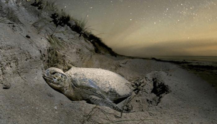 Depredadores y analogía entre variedades de la Tortuga Lora