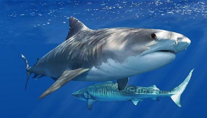 Cómo Nacen Los Tiburones